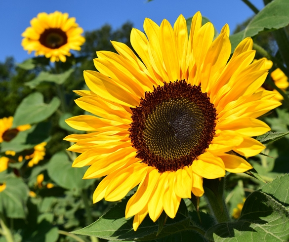 Tips for Planting Sunflowers GEN00060 4980