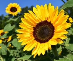 Tips for Planting Sunflowers