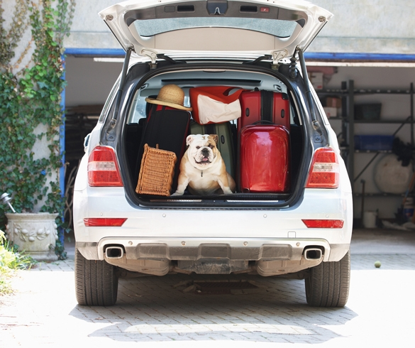 Dog traveling in car with luggage - 12252