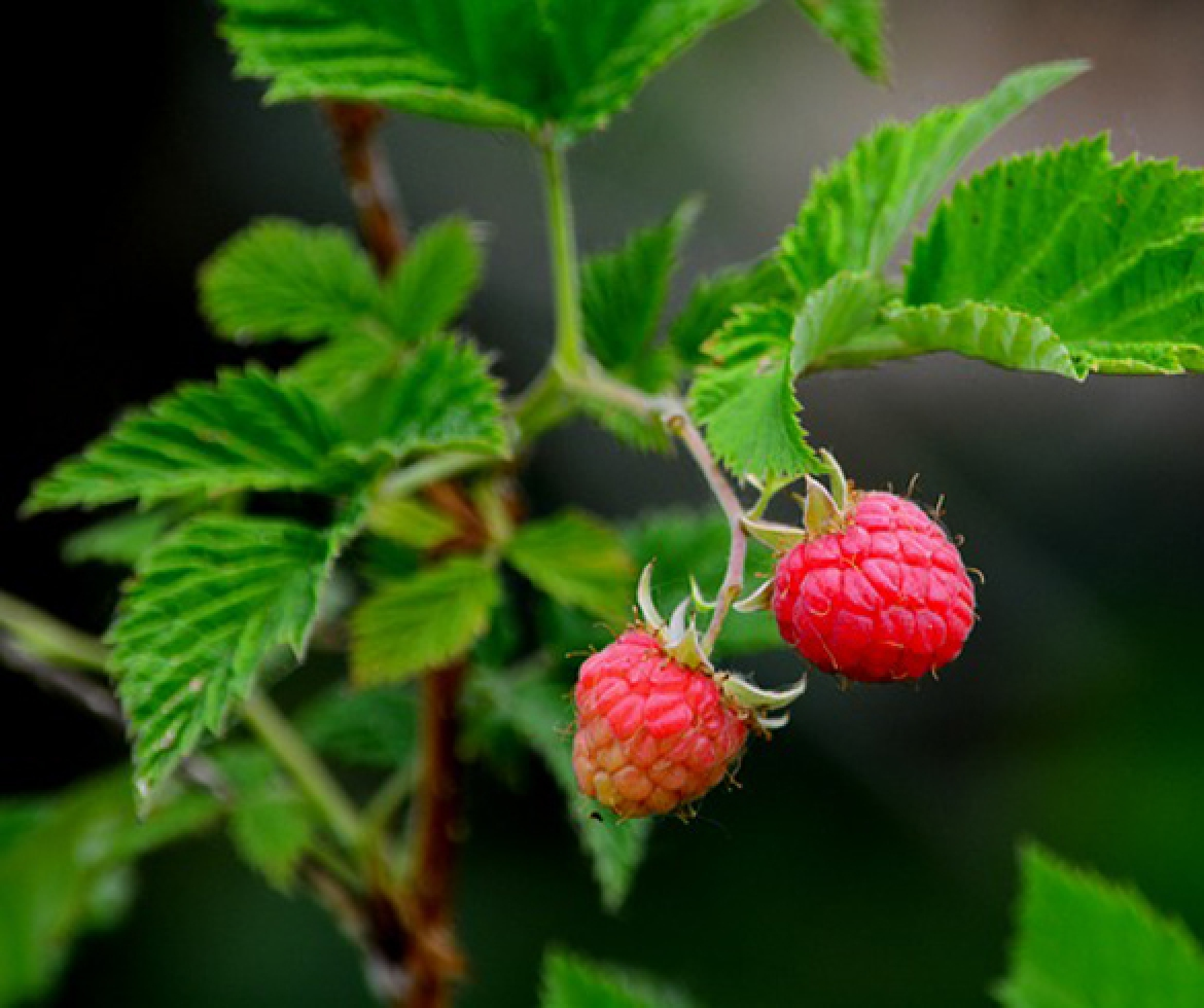Raspberry on vine.