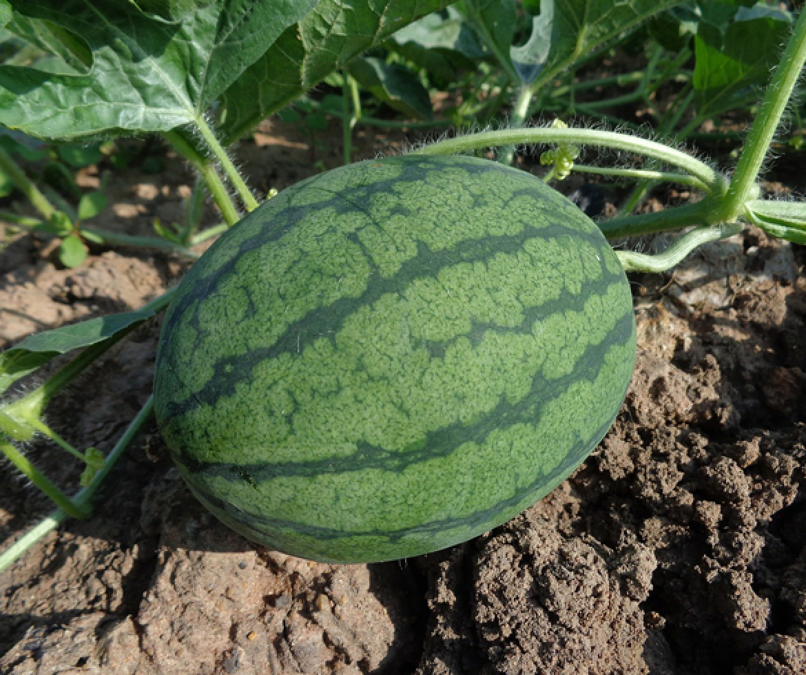 How to Tell if a Watermelon is Ready to Pick