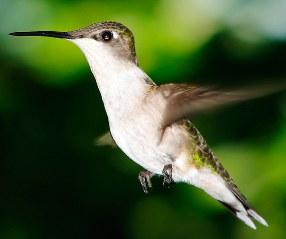 Humming bird flying - GEN00070