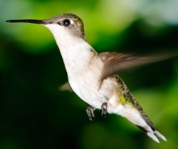 Entice Hummingbirds with Beautiful Blooms