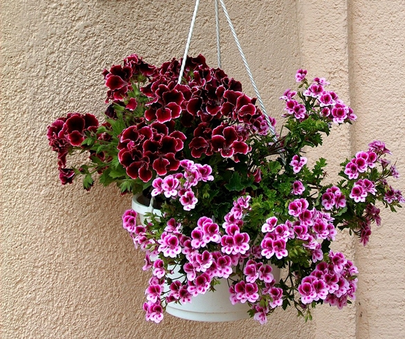 Best Height for Hanging Basket Plants 3749 KSU00043