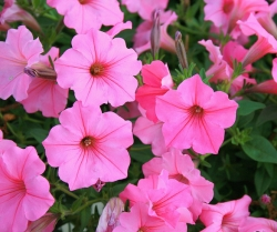 Annuals: 5 Easy-to-Grow Flowers
