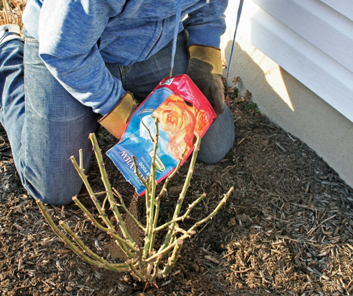 Person planting a rose bush.