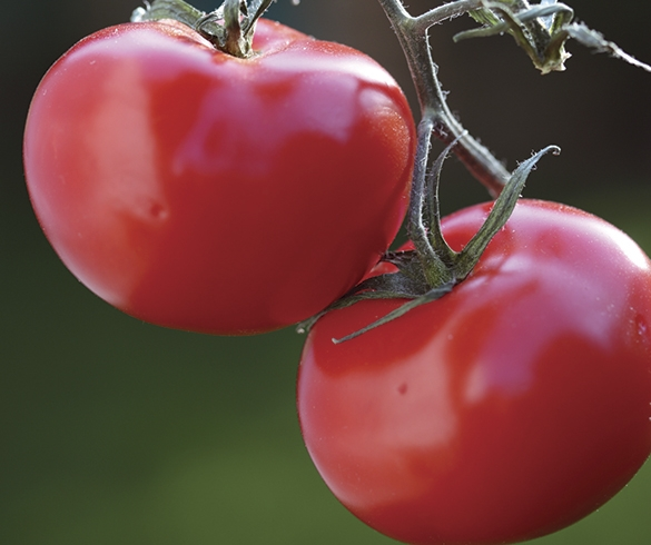 Gardening With Charlie - How to Grow a Tomato 10560